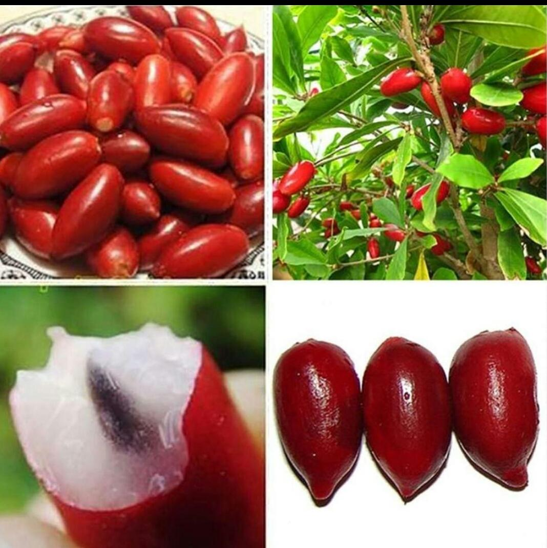 Magic Berry Plant (magic Fruit) By Ms Garden.