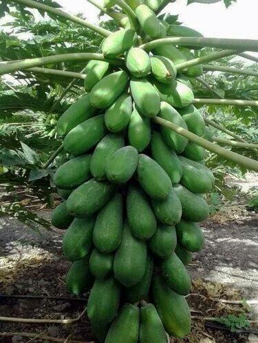 F1 Sinta Hybrid Papaya Seeds By Ms Garden.