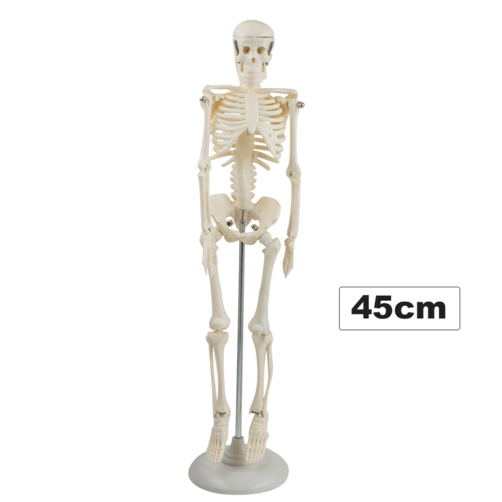Philippines 45cm Human Skeleton Anatomical Model Life Medical