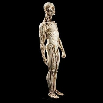 BolehDeals Removeable Resin Man Human Anatomy Skeleton Muscle ModelFull Body White - intl - 2
