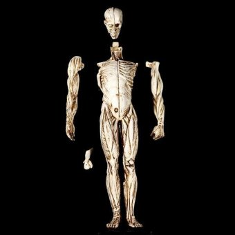 BolehDeals Removeable Resin Man Human Anatomy Skeleton Muscle ModelFull Body White - intl - 3