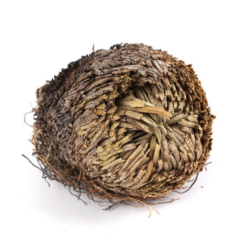 Hot Resurrection Plant Live Dinosaur Rose Plant Air Fern Selaginella Moss Gift Price Philippines