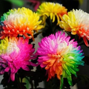 Elife 20Pcs Rainbow Chrysanthemum Seeds Rare Flowers Seed - intl - 5